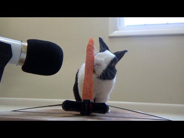 Rabbit eating crunchy carrot ASMR