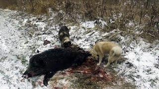 Охота #17 лось и 4 кабана часть 2