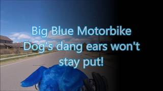 Big Blue Motorbike Dog's dang ears won't stay put!