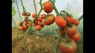 Проверенные семена томатов сезон 2018