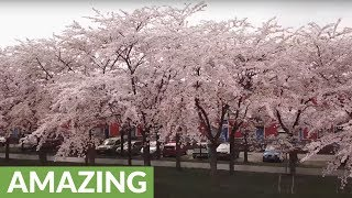 Drone captures stunning cherry blossom in Netherlands