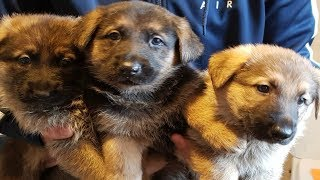 Cutest & Funniest German Shepherd Puppies #4 - Funny Dogs Compilation 2018