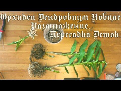 Орхидеи. Дендробиум Нобиле. Размножение. Пересадка деток.