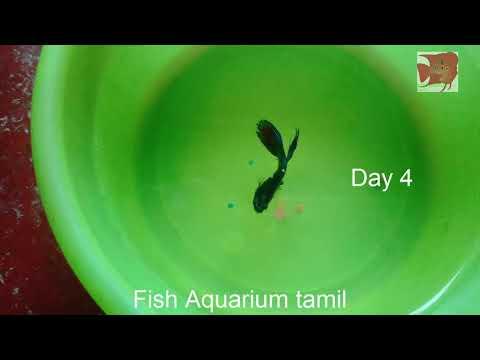 Betta Or Fighter Fish Not Eating Problem Solved In Tamil / Fish Aquarium Tamil