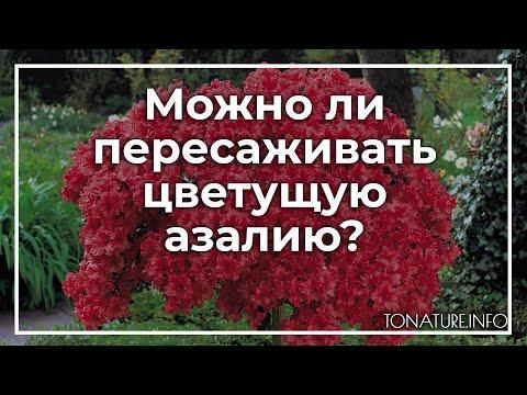 Можно ли пересаживать цветущую азалию? | toNature.Info