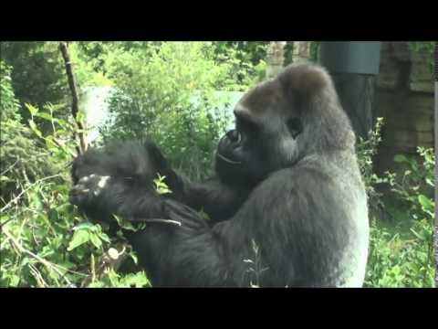 Zoo Stuttgart - Wilhelma: Gorilla Kibo draußen