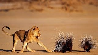 LION,Leopard Hunting PORCUPINE ||Discovery channel