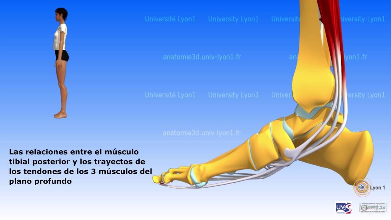 La pierna: grupo muscular posterior relación entre los músculos ...