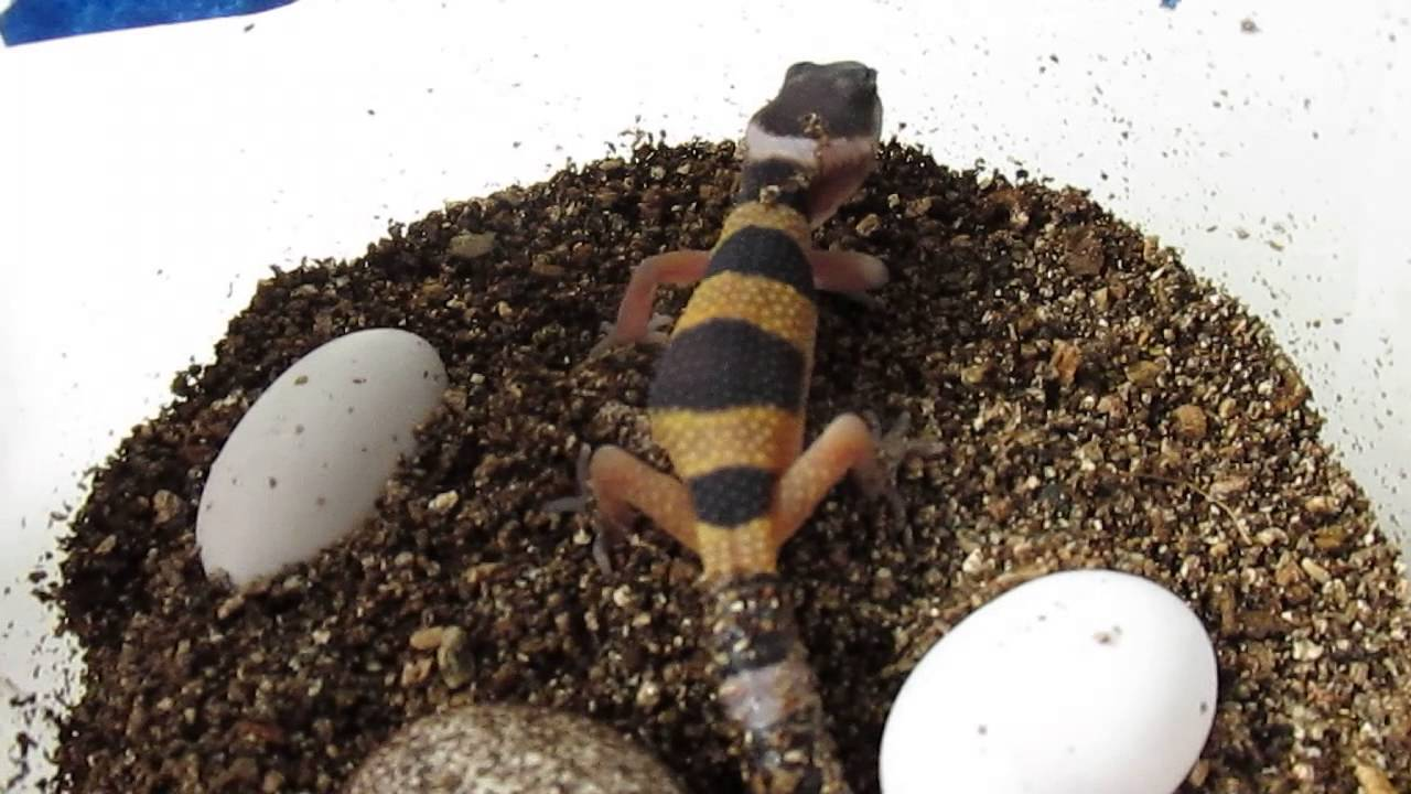 Leopard Gecko Eggs Are Hatching Youtube