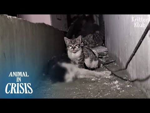 Kitten Can't Let Go Of His Dead Father, Kneading Him Until He Wakes Up (Part 1) | Animal In Crisis