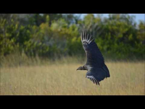 Florida Wildlife _ Everglades _ Shark Valley Trail