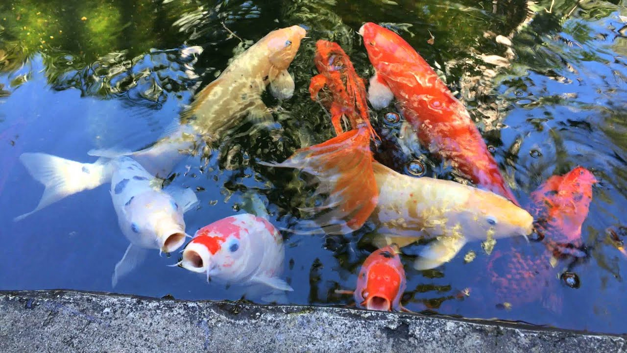 Koi fish they are symbols of love and friendship in for Colorful pond fish