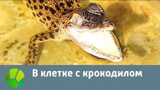В клетке с крокодилом | Живая Планета