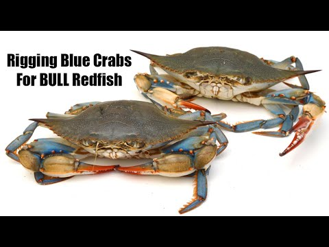 How To Rig Blue Crab For BULL Redfish (7 Must-Know Tips)