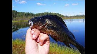 Чёрные окуни диких озер ! Провалился в болото, но добрался ! Осенняя рыбалка удалась ! Копчение рыбы