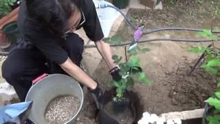 時系列 新苗を不織布ポットで地植えしよう♪ 第1回「新苗の植え付け、ピンチ、ブラインドの処理」