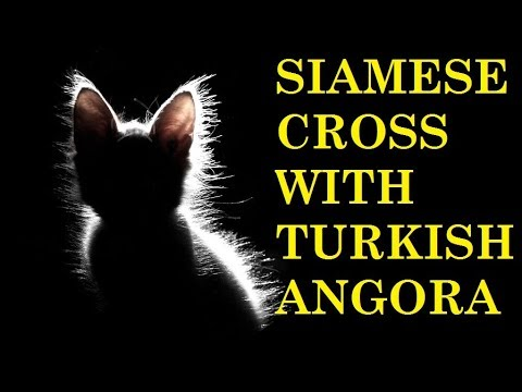 WHAT HAPPENED WHEN SIAMESE MALE CROSS WITH TURKISH ANGORA | 2017