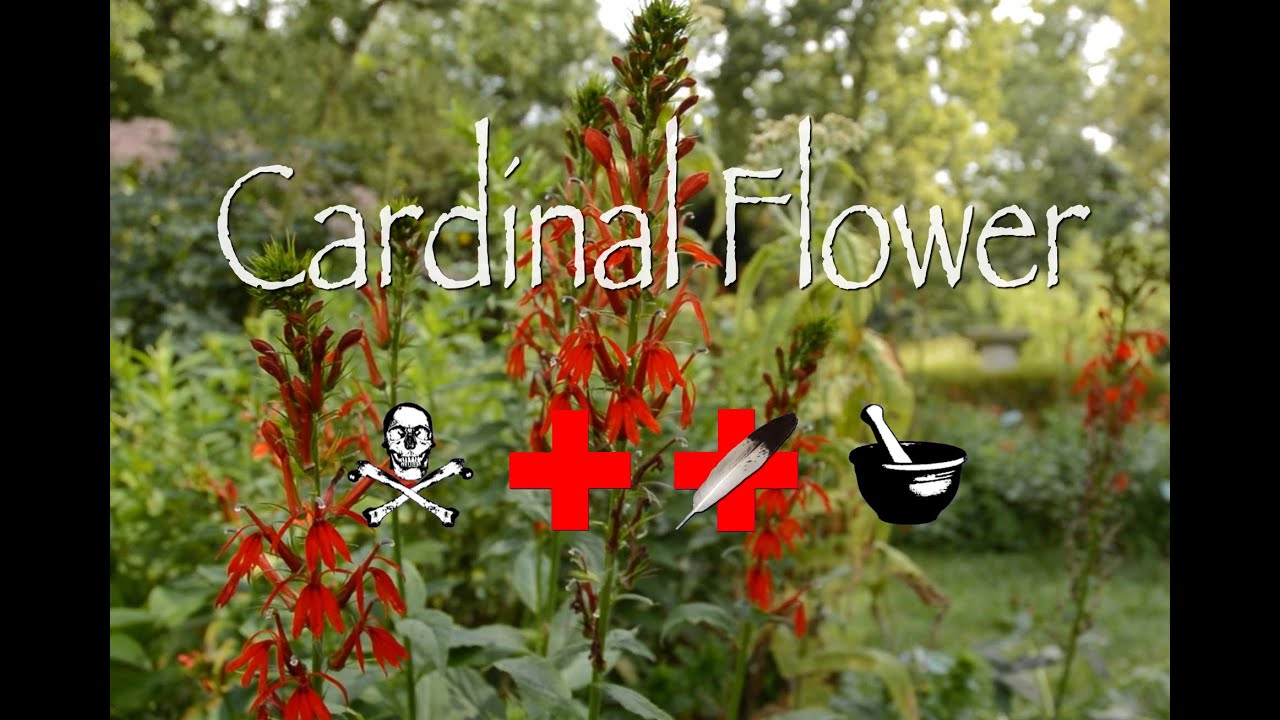 Cardinal Flower Poison Medicinal Other Uses Youtube