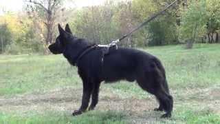 German Shepherd Training Dog Leather Harness, Bestseller!