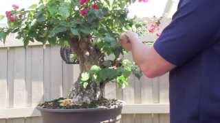 How to Bonsai - Bougainvillea Restyling the Tree