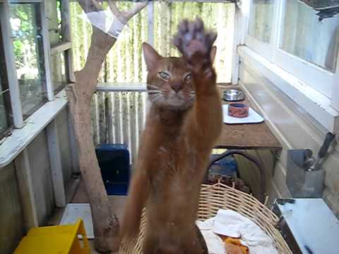 Abyssinian cat gone crazy