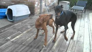 Mdjai (doberman) and Minnie (rhodesian ridgeback) having fun wrestl...