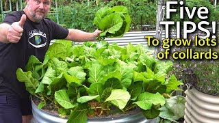 5 Tips How to Grow a Ton of Collards in a Raised Container Garden Bed