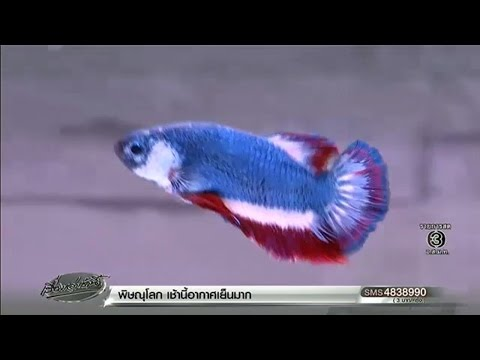 สื่อนอกตีข่าว 'เจ้าไตรรงค์' ปลากัดลายธงชาติค่าตัวครึ่งแสน ดังไกลทั่วโลก