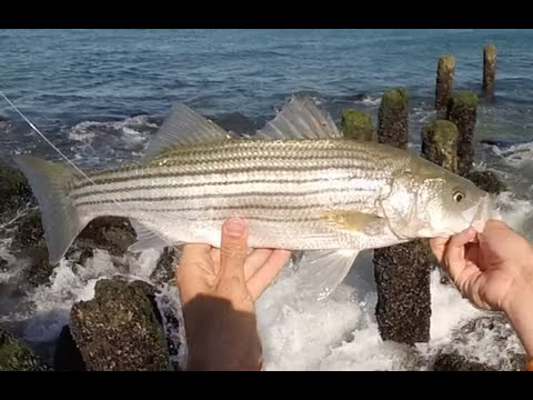 Snapper bluefish invasion schoolie striper and stingray for Nj surf fishing reports