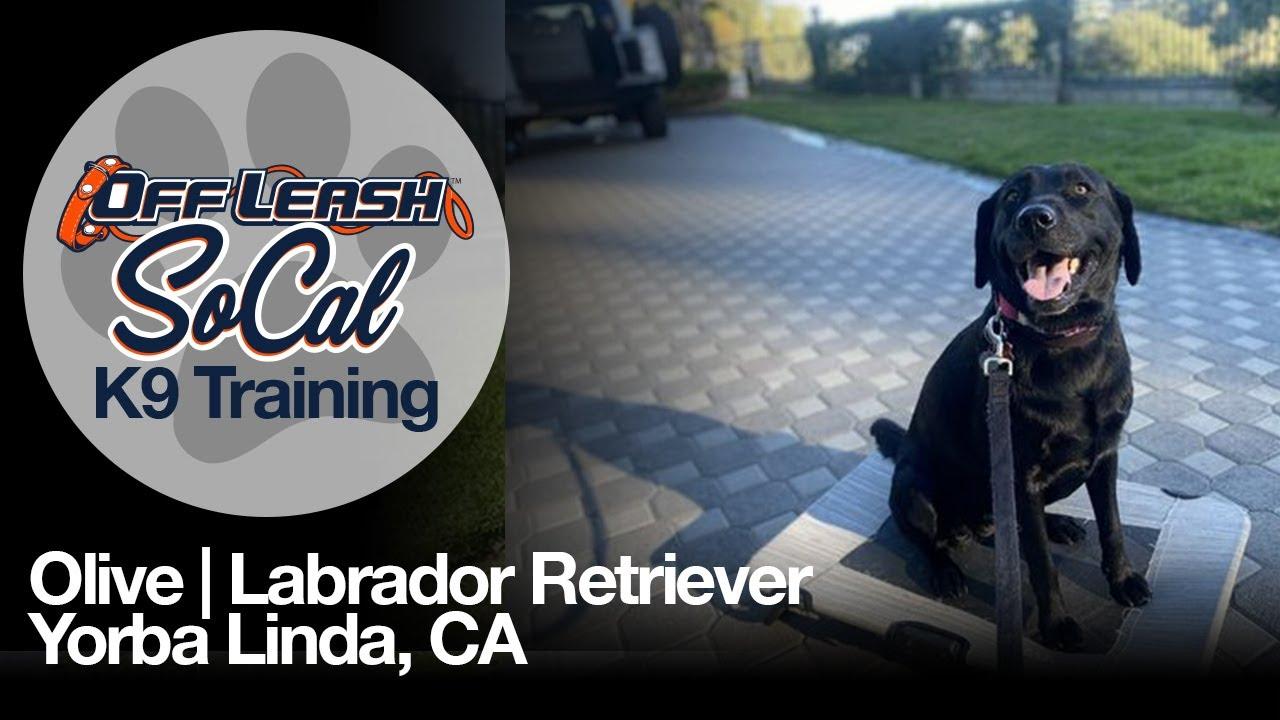 Olive   Labrador Retriever   Yorba Linda, CA