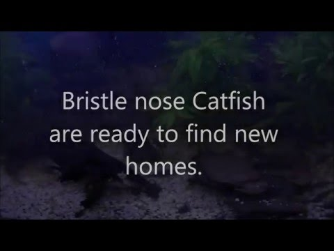 Bristle-nose Catfish Tank.