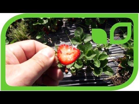 Beliebt Bevorzugt Retrozüchtung bei Erdbeeren - YouTube #LU_11