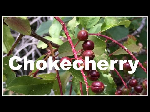 Chokecherry (Prunus virginiana) Permaculture Walk - Ninja Gardening - Episode 14