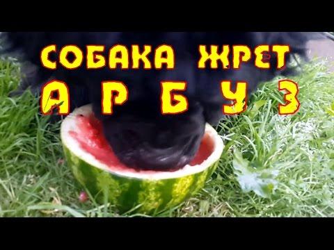 Приколы 2016.Наша собака жрет арбуз! Our dog eats watermelon!