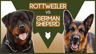 ROTTWEILER vs GERMAN SHEPHERD!
