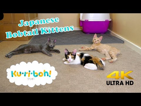 Japanese Bobtail Kittens 4k New Cat Wands!