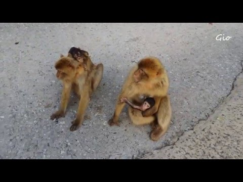 Rock of Gibraltar ~Barbary Macaques (Apes' Aden~Upper Rock)