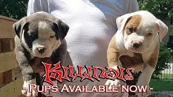 American Bulldog Puppies Craigslist