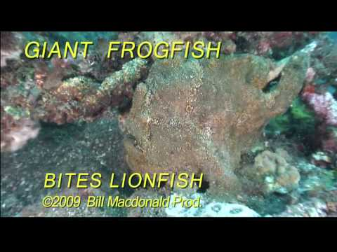 Diving: Giant frogfish bites lionfish, Ouch!!