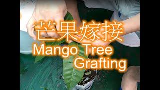 樹之林~ 芒果嫁接 Mango grafting
