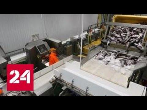 Самая большая в Заполярье рыбная фабрика начала работу в Мурманске