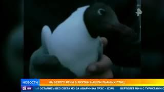 На берегу реки в Якутии нашли пьяных птиц