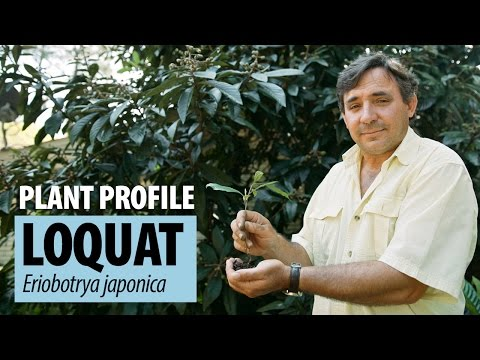 Loquat Plant Profile