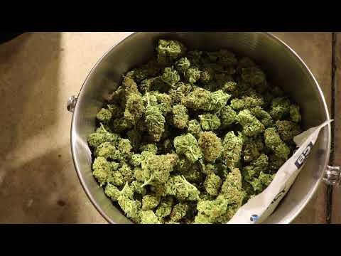 Outdoor Cannabis Grow Vlog #10 Incredible Bulk Grow Harvest Update