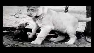 Dackel Versus Loewe! Lion Vs Dachshund, Leão Contra Dachshund