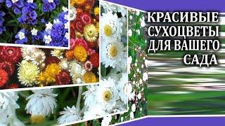 Сухоцветы  .  4 неприхотливых сухоцвета для вашего сада