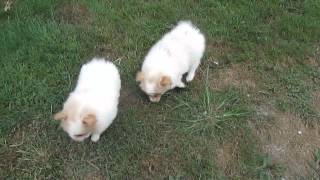 Pomeranian Puppies For Sale In Pa.