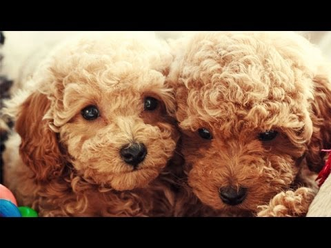 60 Seconds Of Cute Poodle Puppies!