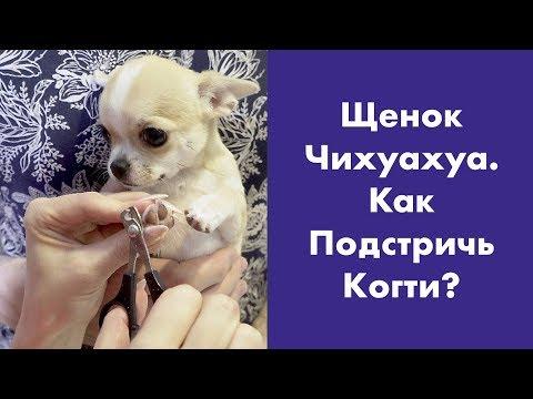 Как подстричь когти щенку чихуахуа в домашних условиях