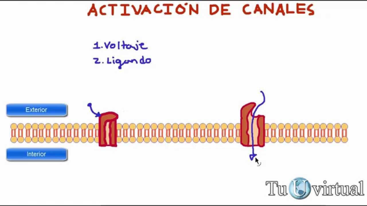 Fisiología - Activación de canales protéicos - mediados
